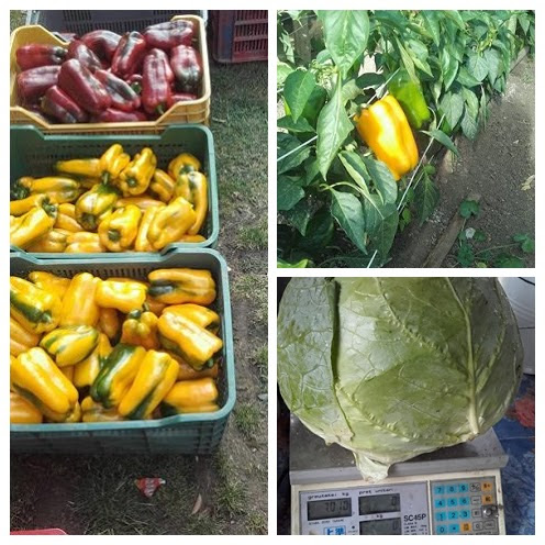 Harvest from the biomeiler green house
